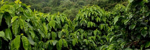 Hurricanes in Honduras Hammer Coffee Crop