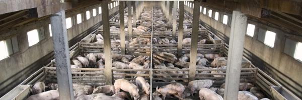 The China Pork Playbook