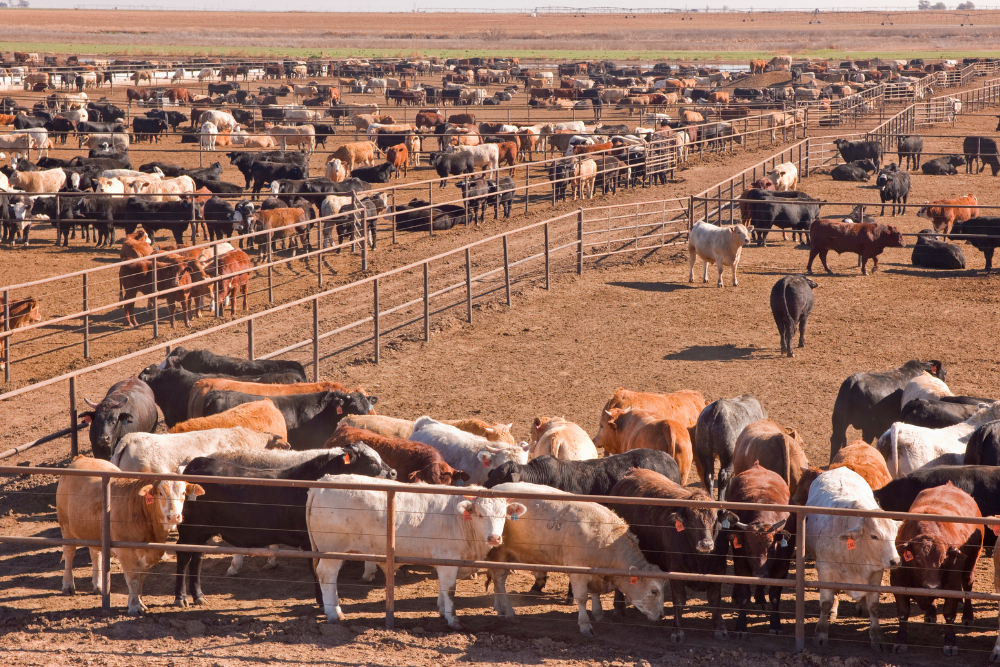 Cattle Markets' Transparency Test