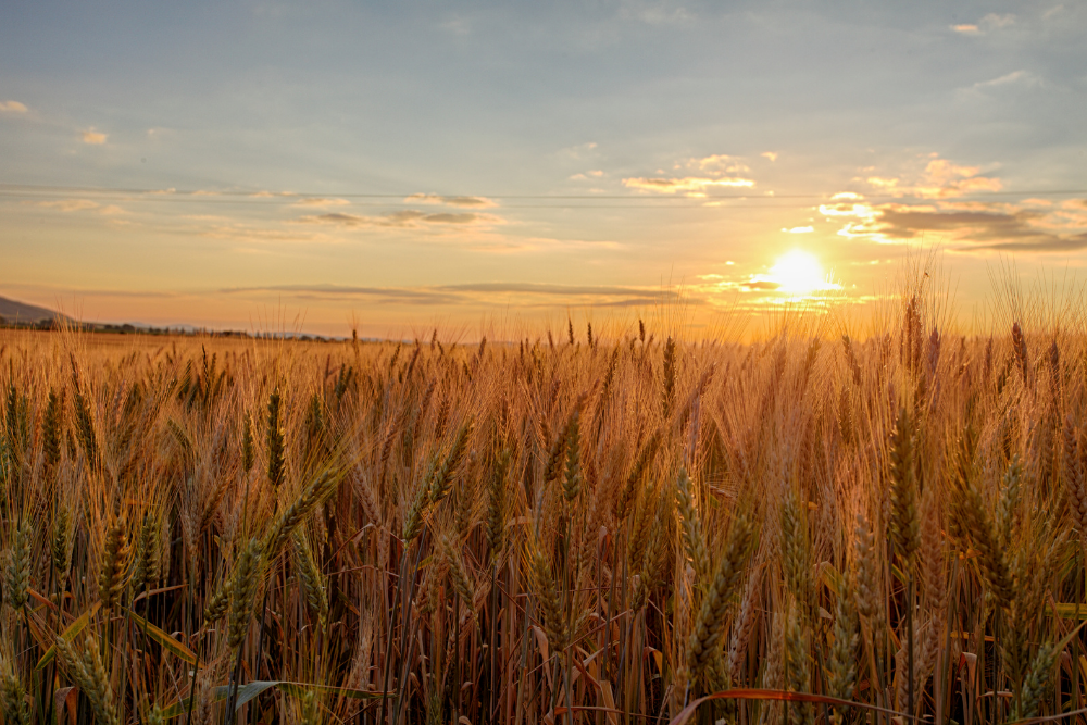 A Walk in the Wheat