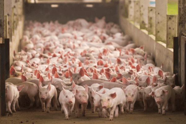 Germany's (Continued) Pork Problem